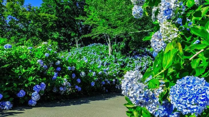 【千葉県】【秘境】麻綿原天拝園~2万株のアジサイが生む絶景